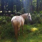 New Forest pony, Wilverley Enclosure
