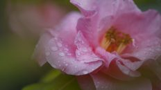 Rose and rain drops