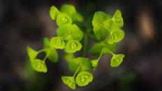 Euphorbia growing wild